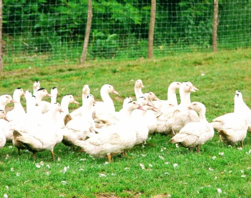 Elevage de canards à foie gras du Sud-Ouest
