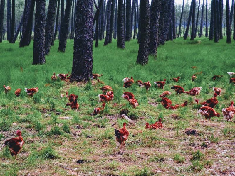 Poulet fermier des landes dans la forêt