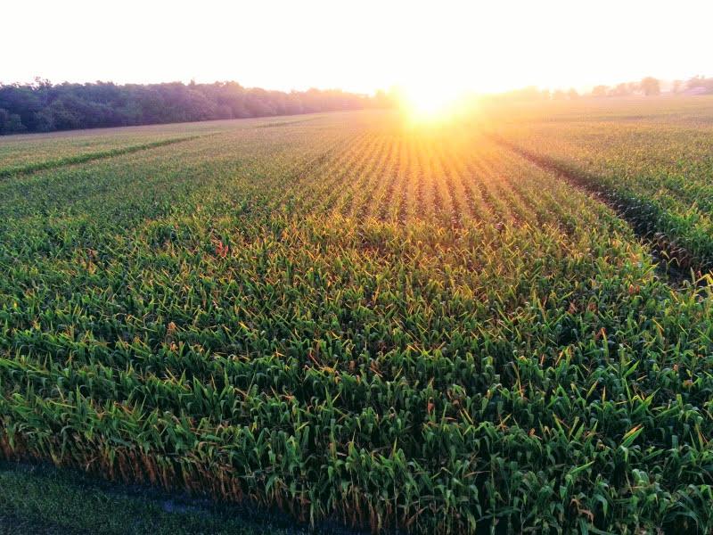 Maïs au lever du soleil